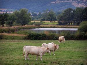 Landscapes of Loire - Charolais cows in a meadow, lake, fields and trees