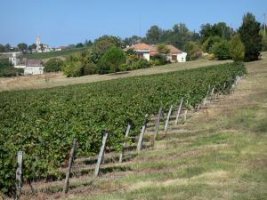 Landscapes of the Lot-et-Garonne - Vine field, houses, steeple and trees