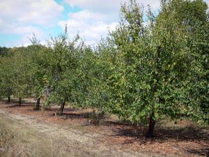 Landscapes of the Lot-et-Garonne - Plum orchard