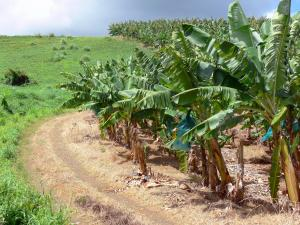 Landscapes of Martinique - Path along a banana field