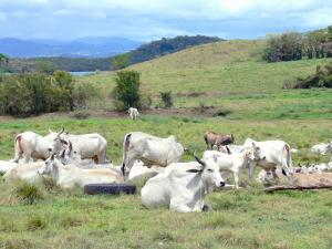Landscapes of Martinique - Herd of cows in a field, in the town of Trois-Îlets