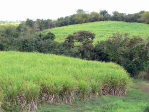 Landscapes of Martinique - Sugar cane fields surrounded by trees