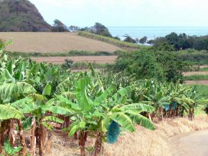 Landscapes of Martinique - Banana field in foreground with views of the Atlantic Ocean
