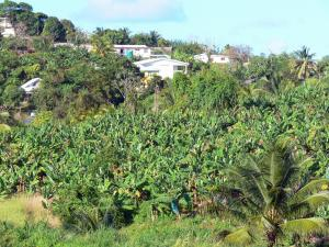 Landscapes of Martinique - Houses overlooking a banana field