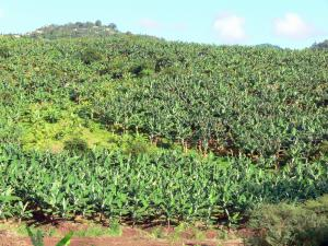 Landscapes of Martinique - Banana plantation