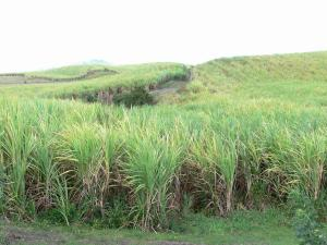 Landscapes of Martinique - Sugar cane fields