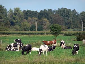 Landscapes of the Nord - Scarpe-Escaut Regional Nature Park: herd of cows in a prairie, field and trees