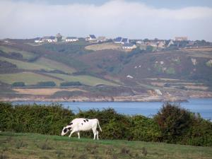 Landscapes of Normandy - Caps road, in the Cotentin peninsula: Normandy cow in a meadow, houses and moors dominating the Channel (sea)