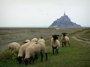Landscapes of Normandy - Sheeps in the salty meadows and Mont-Saint-Michel
