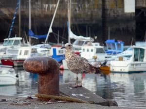 Landscapes of Normandy - Gull in the Cherbourg-Octeville port, in the Cotentin peninsula