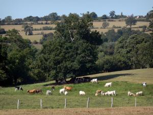 Landscapes of Normandy - Cows in a meadow, trees and meadows