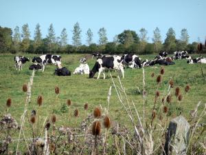 Landscapes of Normandy - Cotentin and Bessin marshes Regional Nature Park: wild flowers in foreground, Normandy cows in a meadow and trees