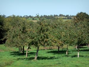 Landscapes of Normandy - Apple trees (fruit trees) in a prairie