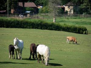 Landscapes of the Orne - Perche Regional Nature Park: horses and cows in a meadow