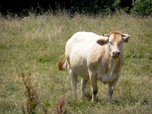 Landscapes of the Orne - Cow in a meadow
