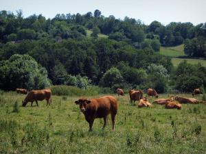 Landscapes of Périgord - Cows in a meadow and trees