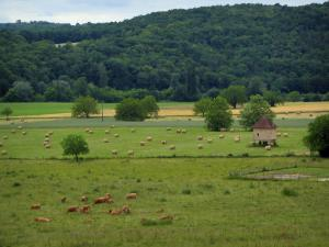 Landscapes of Périgord - Cows in a meadow, field with straw bales, hut and hill covered with trees, in the Vézère valley