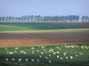 Landscapes of Picardy - Sheeps in a meadow, fields and an line of trees