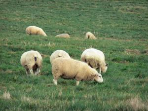 Landscapes of Picardy - Sheeps in a meadow