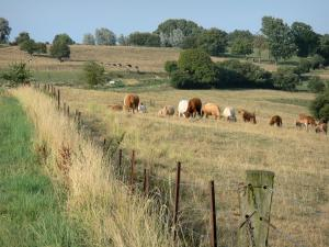 Landscapes of Picardy - Bocage of Thiérache: herd of cows in a meadow
