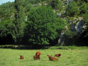 Landscapes of the Quercy - Cows in a meadow and trees