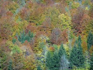 Landscapes of the Savoie in automn - Trees of a forest with lively autumn colours
