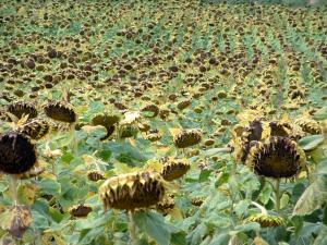 Landscapes of the Tarn - Sunflowers field