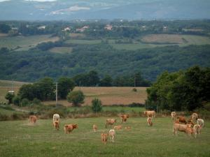 Landscapes of the Tarn - Meadow with cows, trees, fields and forests