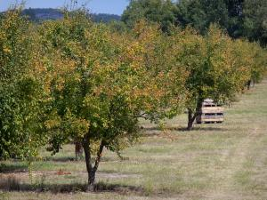 Landscapes of the Tarn-et-Garonne - Trees in an orchard