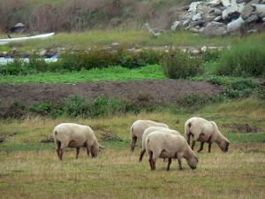 Landscapes of the Vendée - Sheeps in a meadow