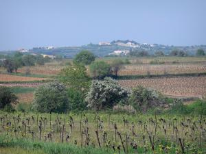 Languedoc vineyards - Vineyards, trees and houses in background
