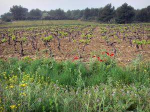 Languedoc vineyards - Wild flowers, vineyards and trees
