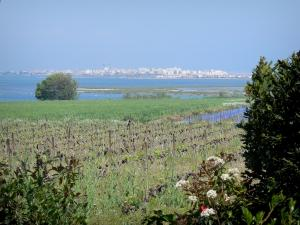 Languedoc vineyards - Vineyards, shrubs, lakes and seaside resort of Palavas-les-Flots in background
