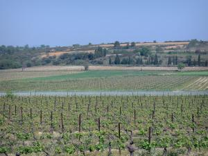 Languedoc vineyards - Vineyards and trees