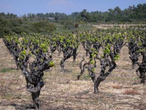 Languedoc vineyards - Vineyards