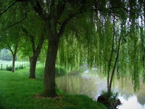 Lavardin - Poète walk: bank decorated with weeping-willow trees and the Loir River