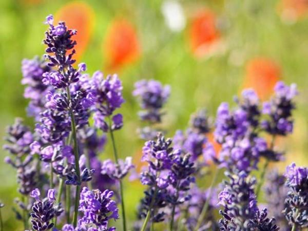 Lavender - Gastronomy, holidays & weekends guide in Provence-Alps-French Riviera