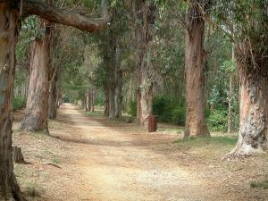 Lérins island - Sainte-Marguerite island: road (footpath) lined with eucalyptus trees