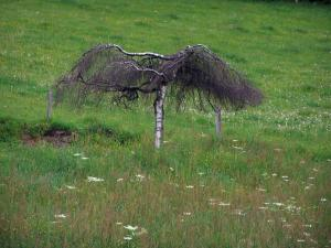Limousin landscapes - Small tree in a field of wild flowers