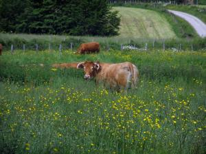 Limousin landscapes - Cows Limousines and wild flowers