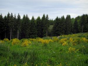 Limousin landscapes - Blooming brooms and spruce forest