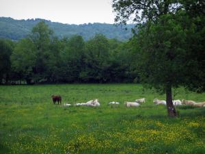 Limousin landscapes - Cows in a prairie dotted with wild flowers, trees and forest