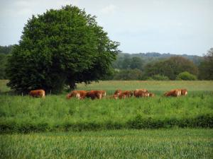 Limousin landscapes - Cows in a field and trees