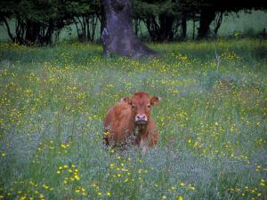Limousin landscapes - Cow in a field of wild flowers