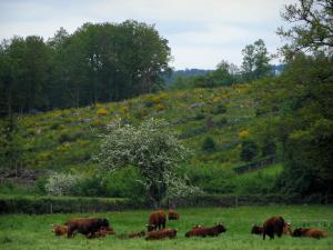 Limousin landscapes - Limousines cows in a meadow, blooming brooms and trees