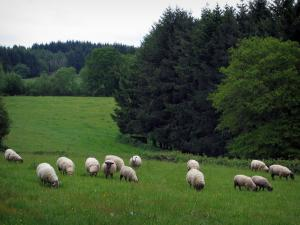 Limousin landscapes - Sheeps in a prairie and trees