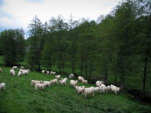 Limousin landscapes - Cows in a meadow and trees