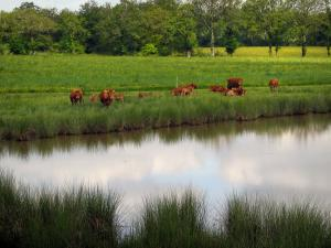 Limousin landscapes - Limousines cows on the edge of a pond, in Basse-Marche