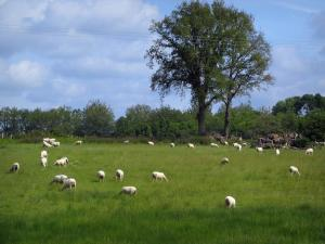 Limousin landscapes - Herd of sheeps in a prairie and trees, in Basse-Marche