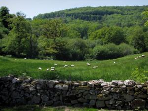 Limousin landscapes - Stony low wall, sheeps in a prairie and trees (forest)